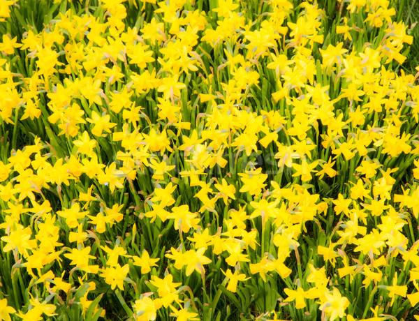 フローラル 黄色 水仙 春 自然 背景 ストックフォト © manfredxy