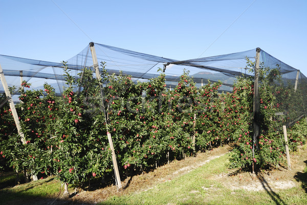 Maçã plantação maduro frutas comida natureza Foto stock © manfredxy