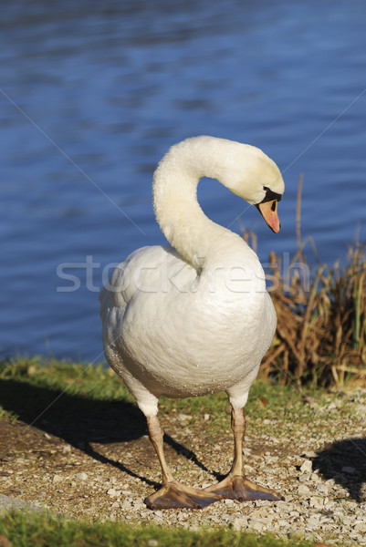Swan Stock photo © manfredxy