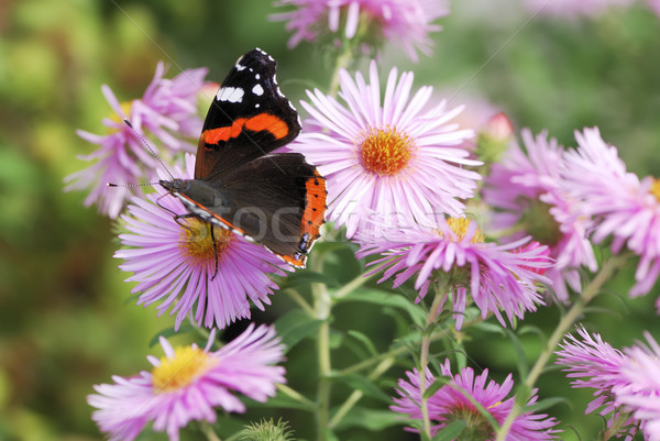 Flowers and Butterfly Stock photo © manfredxy