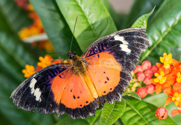 Leopard Lacewing Stock photo © manfredxy