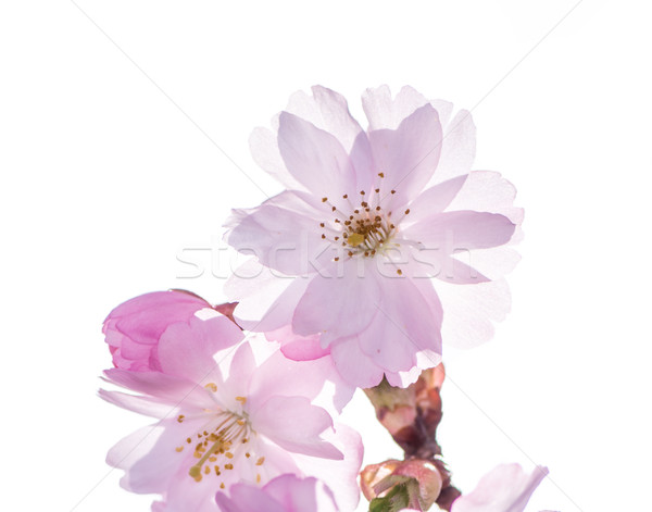 Stock photo: Isolated Pink Cherry Blossoms