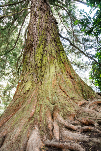 Giant Redwood Tree Stock photo © manfredxy