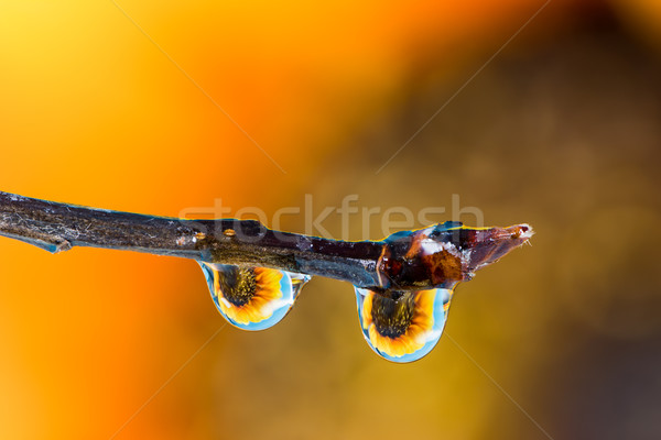 Flower refraction in dew drops on a twig Stock photo © manfredxy