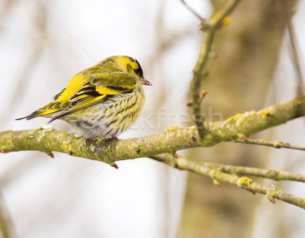 Mannelijke vergadering tak boom vogel Stockfoto © manfredxy