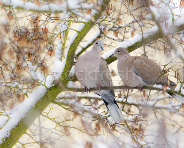 Dove couple sitting on a tree with snow Stock photo © manfredxy