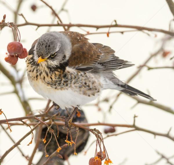 птица сидят дерево природы фрукты Сток-фото © manfredxy