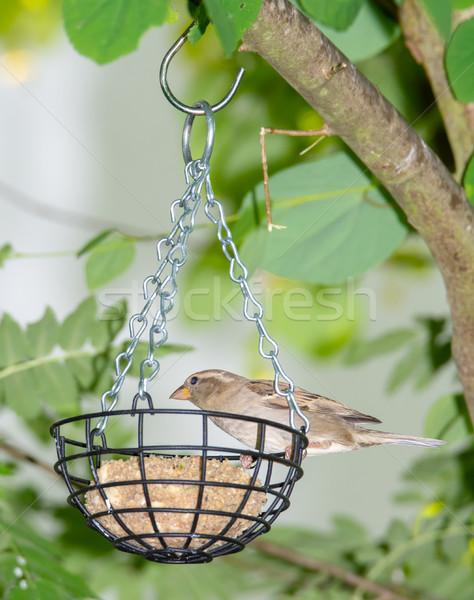 Serçe kuş yağ top tüy hayvan Stok fotoğraf © manfredxy
