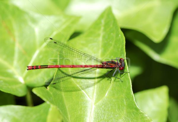 トンボ マクロ 赤 緑 葉 翼 ストックフォト © manfredxy