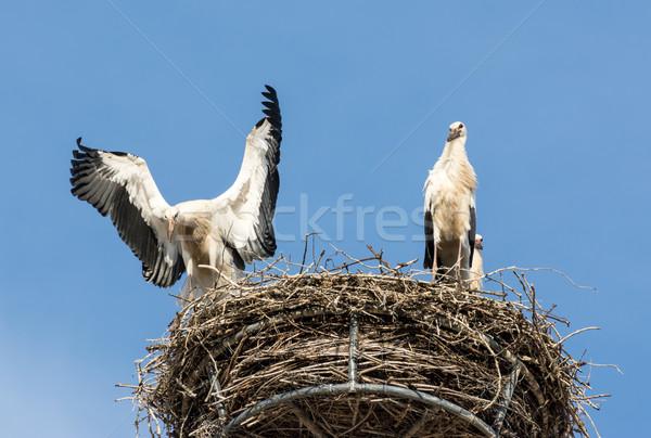 Beyaz iki doğa kuşlar kanatlar leylek Stok fotoğraf © manfredxy