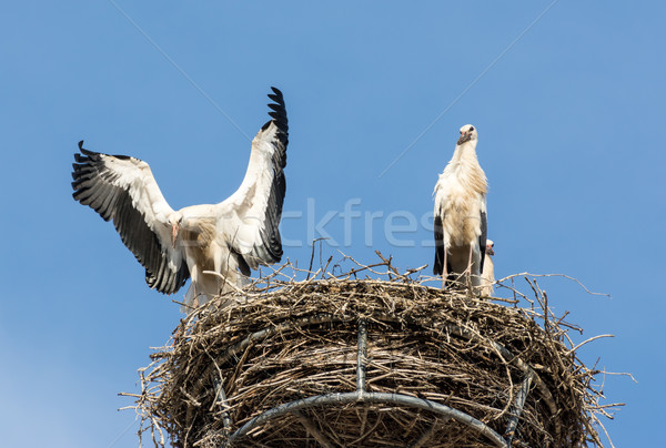 Branco dois natureza aves asas cegonha Foto stock © manfredxy