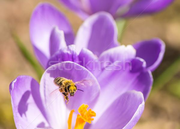 Azafrán vuelo abeja abeja recoger polen Foto stock © manfredxy