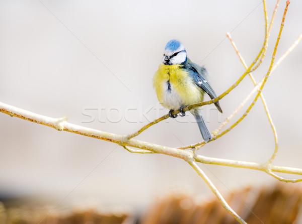 Blue Tit Bird Stock photo © manfredxy