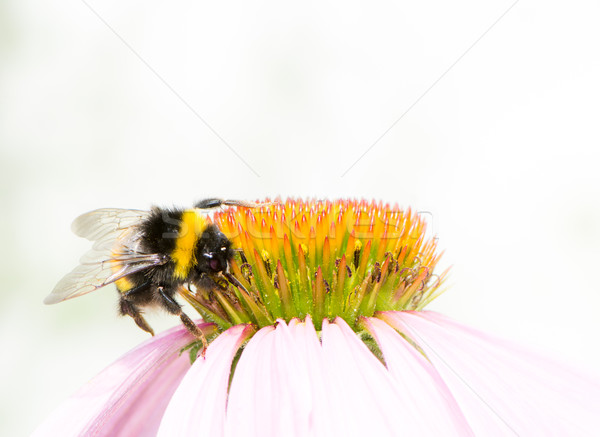 Bumblebee collecting nectar on Echinacea flower Stock photo © manfredxy