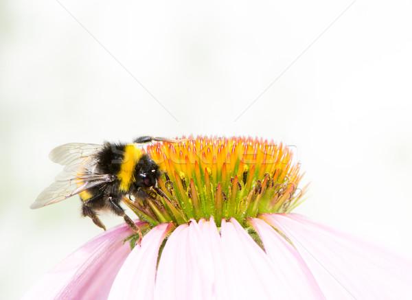 Trzmiel nektar kwiat makro zwierząt Zdjęcia stock © manfredxy
