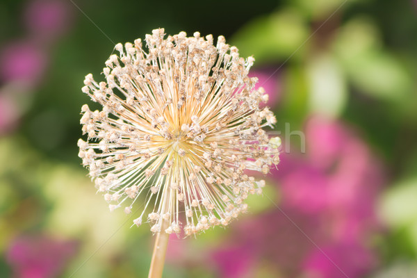 Gigant cebula kwiat makro Zdjęcia stock © manfredxy