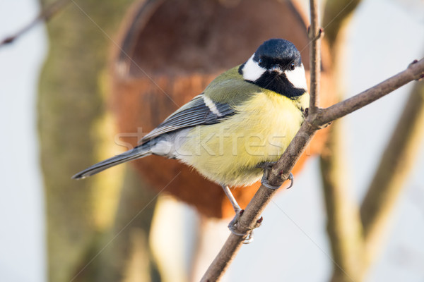 Great Tit bird sitting on the branch of a tree Stock photo © manfredxy