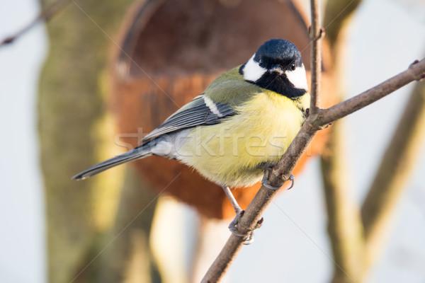 Stockfoto: Groot · tit · vogel · vergadering · tak · boom