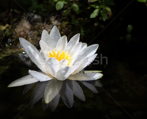 White water lilly blossom in a pond Stock photo © manfredxy