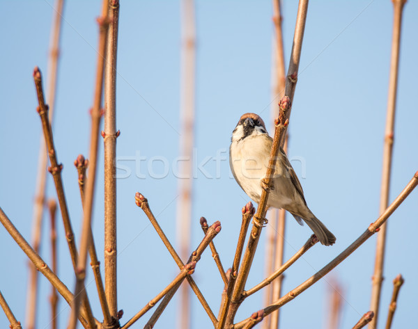 Eurasian Tree Sparrow sitting on the twig of a bush Stock photo © manfredxy