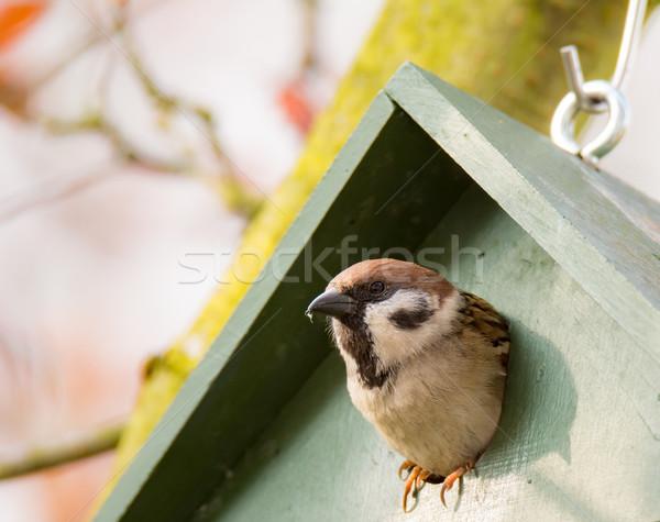 Eurasian Tree Sparrow in a Birdhouse Stock photo © manfredxy
