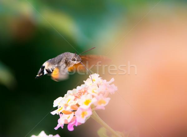 Hummingbird hawk-moth hovering over lantana flower Stock photo © manfredxy