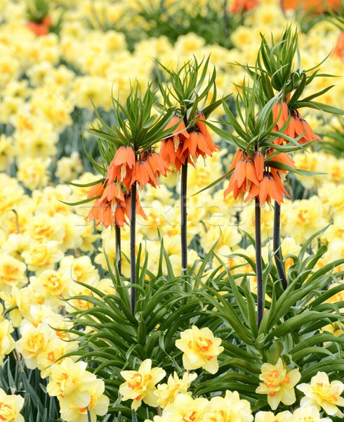 Fritillaria Imperialis Flower Stock photo © manfredxy