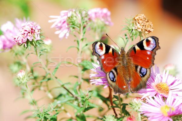Paon papillon séance fleur fleurs nature Photo stock © manfredxy