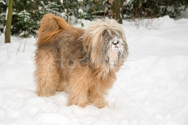 Tibetan Terrier Dog in the Snow Stock photo © manfredxy