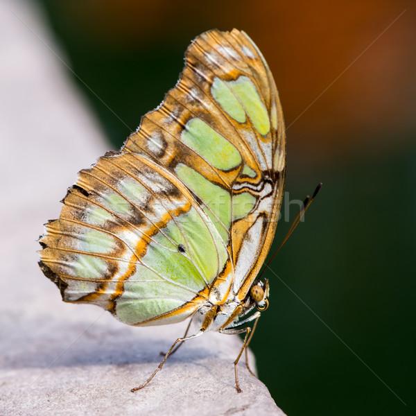 Borboleta tropical malaquita verde asas belo Foto stock © manfredxy
