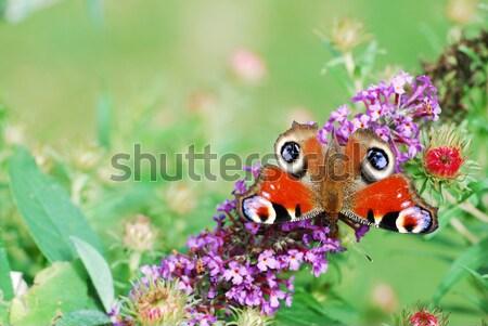 Paon papillon belle rouge séance été Photo stock © manfredxy