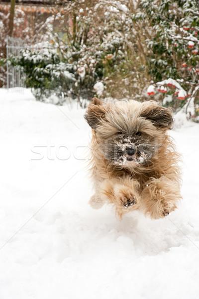 Lopen terriër hond springen sneeuw Stockfoto © manfredxy