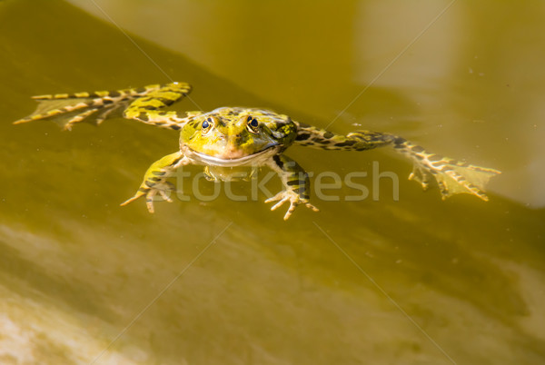 Green frog swimming in the water Stock photo © manfredxy