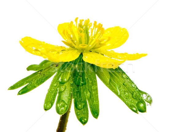 Isolated yellow wet blossom of winter aconite Stock photo © manfredxy
