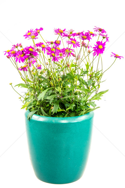 Isolated potted blue dasy flower Stock photo © manfredxy
