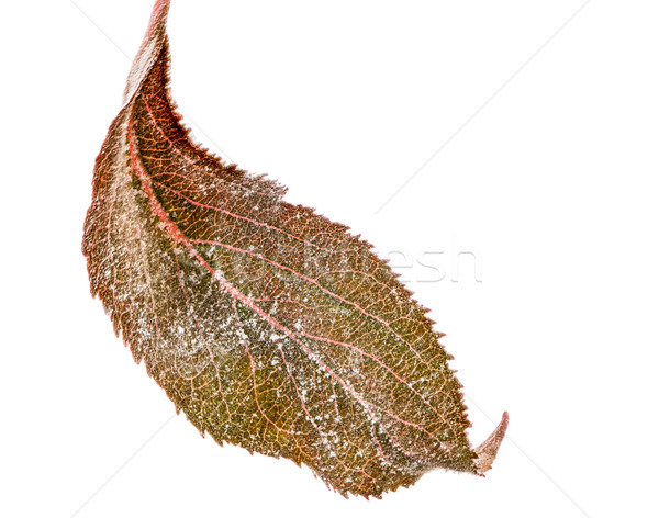 Isolated leaf with powdery mildew Stock photo © manfredxy