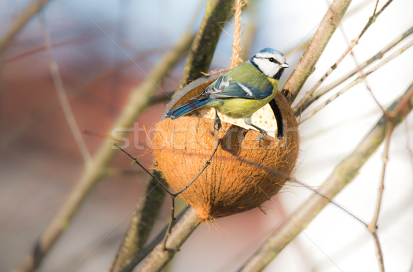 Blue tit bird eating at a bird feeder Stock photo © manfredxy