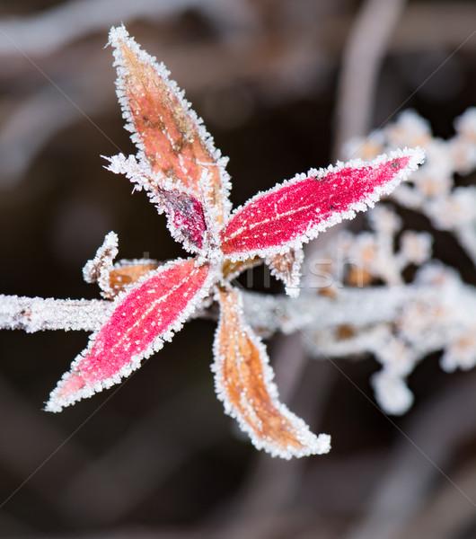 Bevroren Rood bladeren bush blad Stockfoto © manfredxy