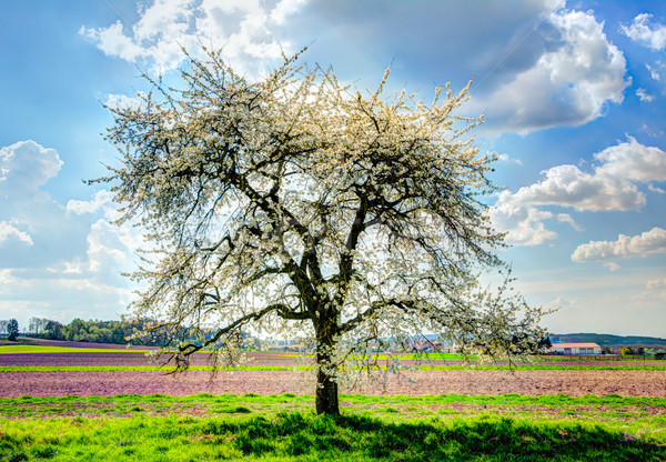 луговой цветения плодовое дерево пейзаж трава завода Сток-фото © manfredxy