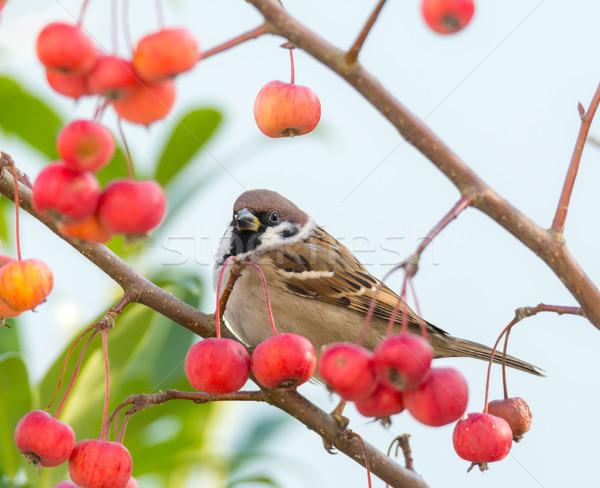 ツリー スズメ 座って リンゴの木 赤 ストックフォト © manfredxy