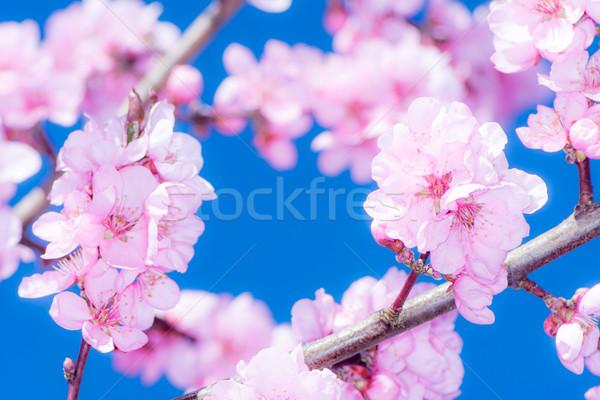 Rózsaszín barack virágok tavasz dicsőség fa Stock fotó © manfredxy