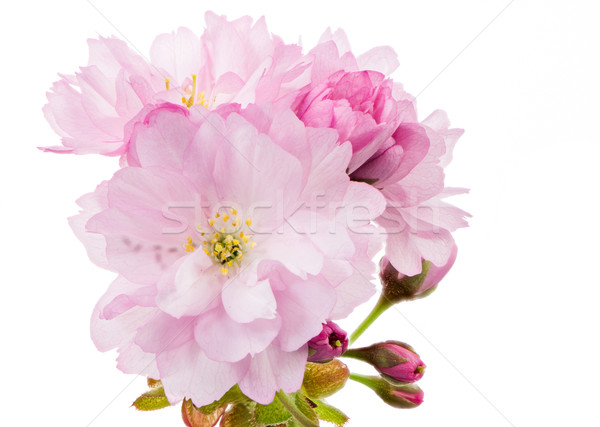 Geïsoleerd takje roze macro natuur Stockfoto © manfredxy