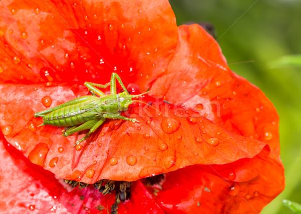 Zielone konik polny posiedzenia czerwony maku kwiat Zdjęcia stock © manfredxy