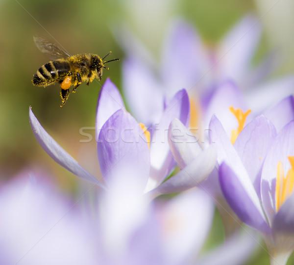 Uçan mor çiğdem çiçek bahar Stok fotoğraf © manfredxy