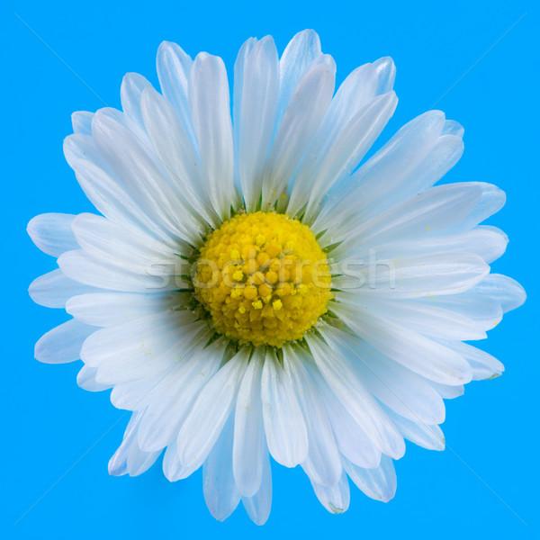 Makro Daisy kwiat kwiat niebieski roślin Zdjęcia stock © manfredxy