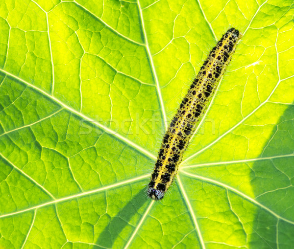 Caterpillar of a cabbage butterfly Stock photo © manfredxy