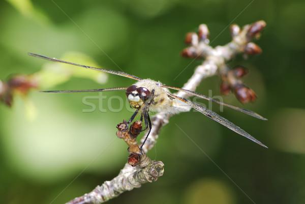 Szitakötő ül növény állat Stock fotó © manfredxy
