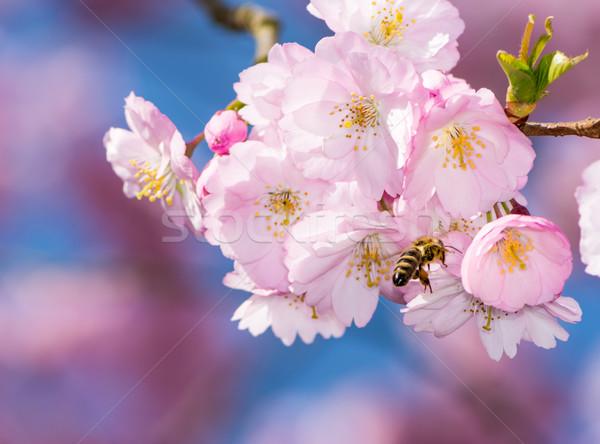 Bee цветения Вишневое дерево пчела Flying Сток-фото © manfredxy