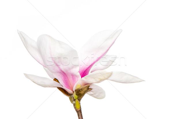 магнолия Blossom розовый дерево весны белый Сток-фото © manfredxy