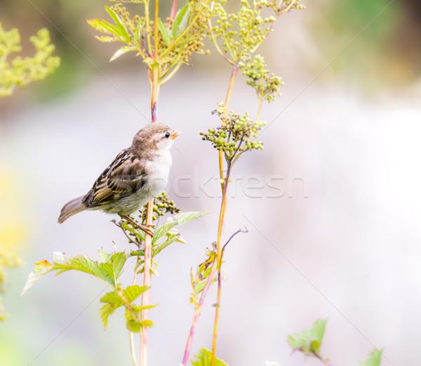 スズメ 鳥 座って 小枝 ツリー 自然 ストックフォト © manfredxy